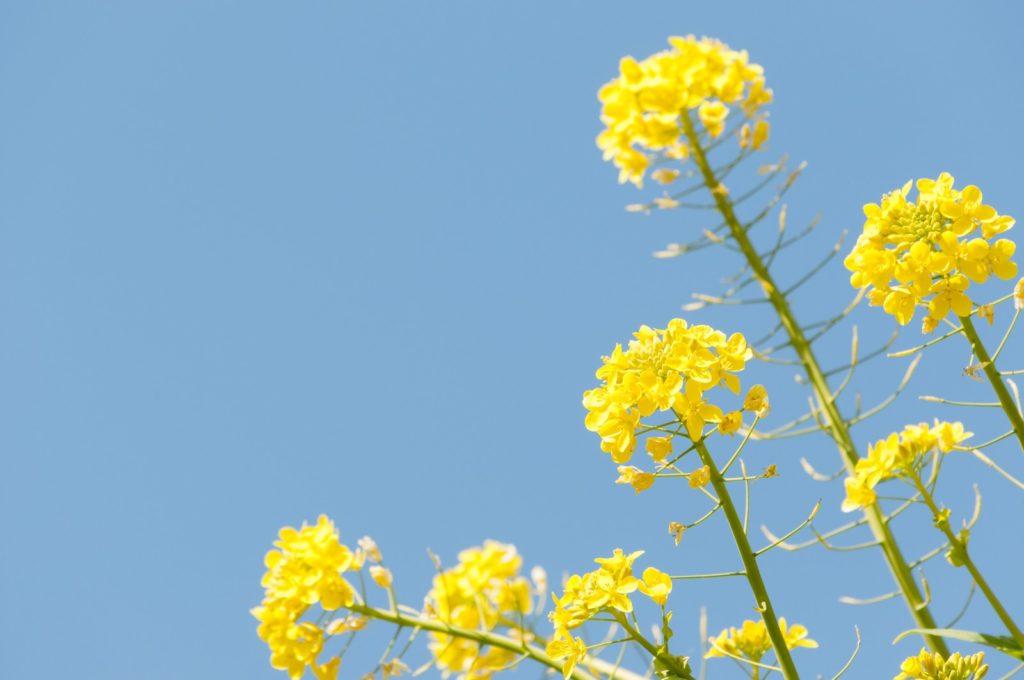 菜の花と青空
