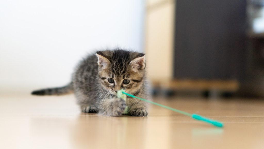 好奇心旺盛に遊ぶ猫