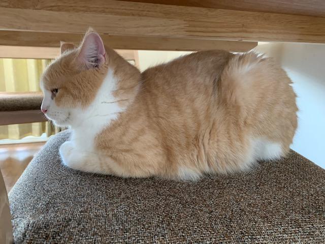椅子に箱座する猫