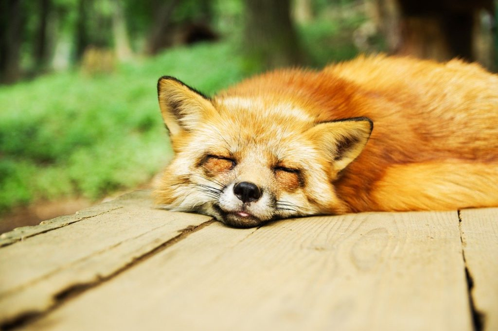 眠っているきつね