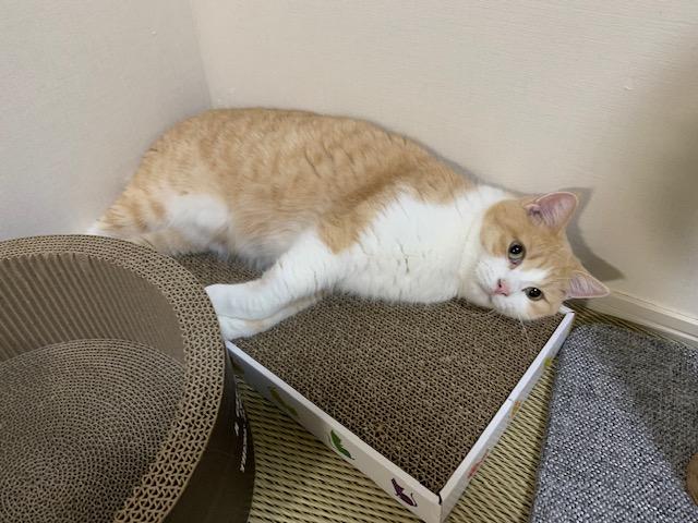 爪とぎの上でくつろぐ猫